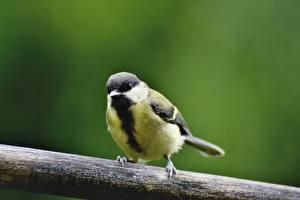 Bureaubladachtergronden Vogels Parus Onscherpe achtergrond