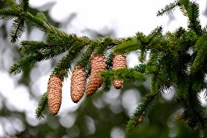 Wallpapers Bokeh Branches Conifer cone