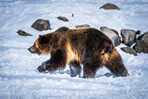 Wallpaper Bears Grizzly Snow Animals