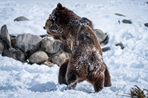 Picture Bear Brown Bears Two Snow Fight animal