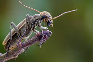 Hintergrundbilder Käfer Insekten Hautnah epicauta Tiere