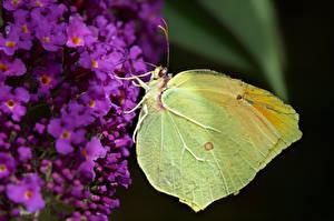 Bilder Schmetterlinge Insekten Hautnah gonepteryx cleopatra ein Tier