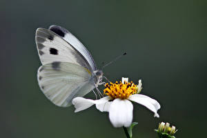 Image Butterfly Insects Blurred background Pieris canidia