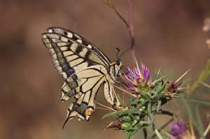 Pictures Butterflies Insects Bokeh papilio machaon