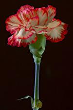 Fotos Nelken Nahaufnahme Schwarzer Hintergrund Blumen