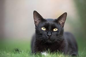 Hintergrundbilder Katze Unscharfer Hintergrund Hinlegen Blick Schwarz Gras