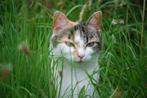 Hintergrundbilder Hauskatze Gras Blick