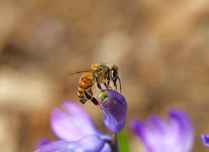 Фотография Крупным планом Пчелы Насекомые Боке