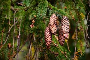 Image Closeup Branches Pine cone Blurred background Spruce Nature