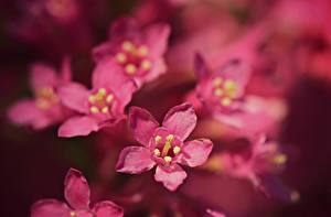 Image Closeup Bokeh Pink color Embelia ribes flower