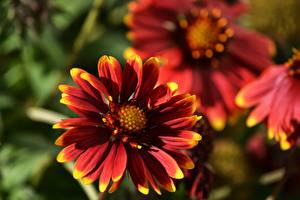 Pictures Closeup Bokeh Red Gaillardia Flowers
