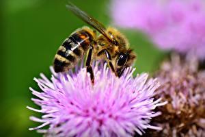 Bilder Hautnah Makrofotografie Insekten Bienen Unscharfer Hintergrund Tiere