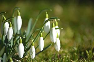 Fotos Großansicht Schneeglöckchen Bokeh Weiß Blumen