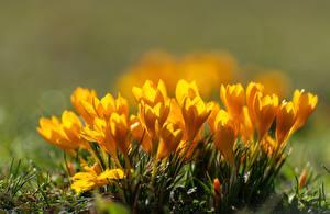 Photo Closeup Spring Crocuses Bokeh Yellow Flowers