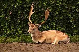 Bakgrunnsbilder Hjortedyr Busker Horn (anatomi) Liggende Dyr