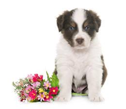 Fotos Hund Blumensträuße Australian Shepherd Welpen