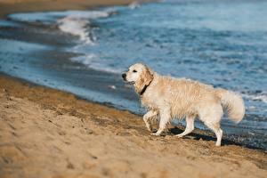 Bureaubladachtergronden Honden Golden retriever Strand Natte Onscherpe achtergrond Zand een dier