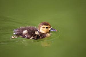 Bakgrunnsbilder Stokkand Fugler Fugleunger Svømmer