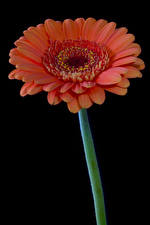 Images Gerberas Closeup Black background Pink color Flowers