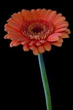 Bilder Gerbera Großansicht Schwarzer Hintergrund Rosa Farbe Blumen