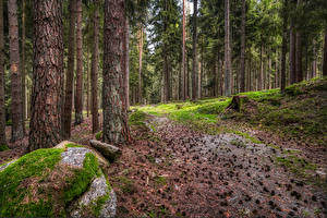 Pictures Germany Forest Trees Pine cone Moss Hinterberg Nature
