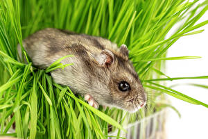 Pictures Hamsters Grass Snout animal