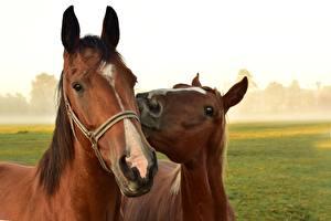Bakgrunnsbilder Hester Hode Ser To 2 Dyr