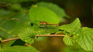Wallpaper Insects Dragonflies Branches Foliage Blurred background animal