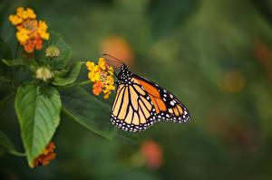 Image Monarch butterfly Butterfly Insects