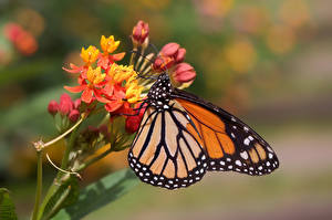 Images Monarch butterfly Butterfly Insects Bokeh
