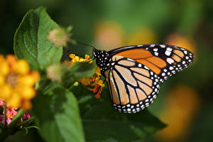 Fotos Monarchfalter Schmetterlinge Insekten Großansicht Tiere
