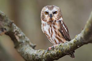 Fondos de Pantalla Búhos Aves Rama northern saw-whet owl Animalia imágenes