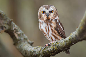 Bureaubladachtergronden Uil Vogels Boomtakken northern saw-whet owl