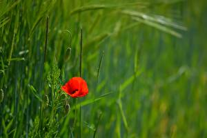 Desktop wallpapers Papaver Blurred background Red Grass Flower-bud Flowers