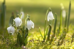 Pictures Spring Closeup Snowdrops Blurred background White flower