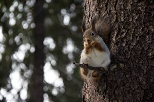 Wallpapers Squirrels Bokeh Glance Branches Trunk tree animal