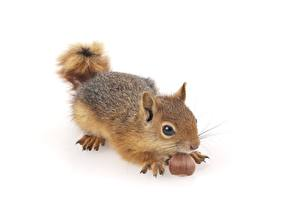 Wallpaper Squirrels Nuts White background animal
