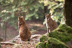 Pictures Stones Lynxes Moss Two Sit Bokeh Back view animal