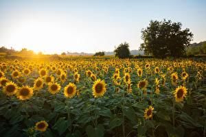 Photo Sunrises and sunsets Sunflowers Many Nature