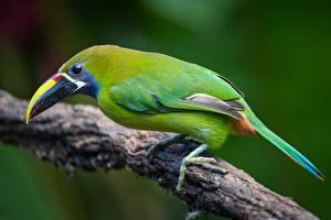 Bakgrundsbilder på skrivbordet Tukan Fåglar Grenar emerald toucanet Djur