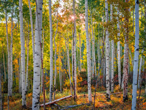 Photo USA Forest Autumn Trees Birch Colorado, aspens Nature