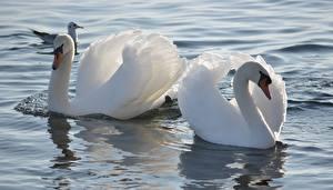 Sfondi desktop Acqua Uccelli Cigno Due 2 Bianco Fiori