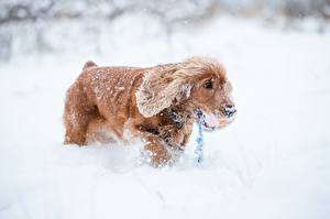 Image Winter Dogs Snow Spaniel Animals