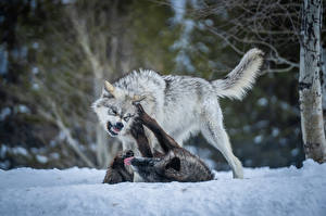 Pictures Wolf Two Snow Fight animal