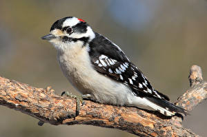Pictures Woodpecker Birds Branches downy woodpecker animal