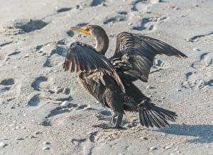 Wallpapers Birds Sand Footprints Cormorant Animals pictures images