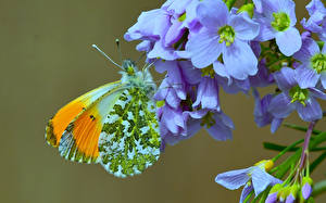Wallpaper Butterfly Insects Closeup anthocharis cardamines Animals