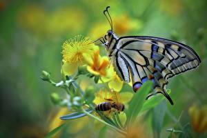 Bilder Schmetterling Insekten Hautnah machaon ein Tier