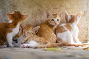 Hintergrundbilder Hauskatze Katzenjunges Fuchsrot Starren