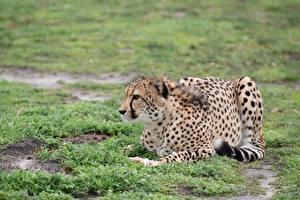 Hintergrundbilder Geparden Gras Hinlegen ein Tier